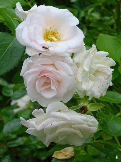 2021-07-02 LüchowSss Garten Beetrose 'Aspirin' (Tantau) (2)