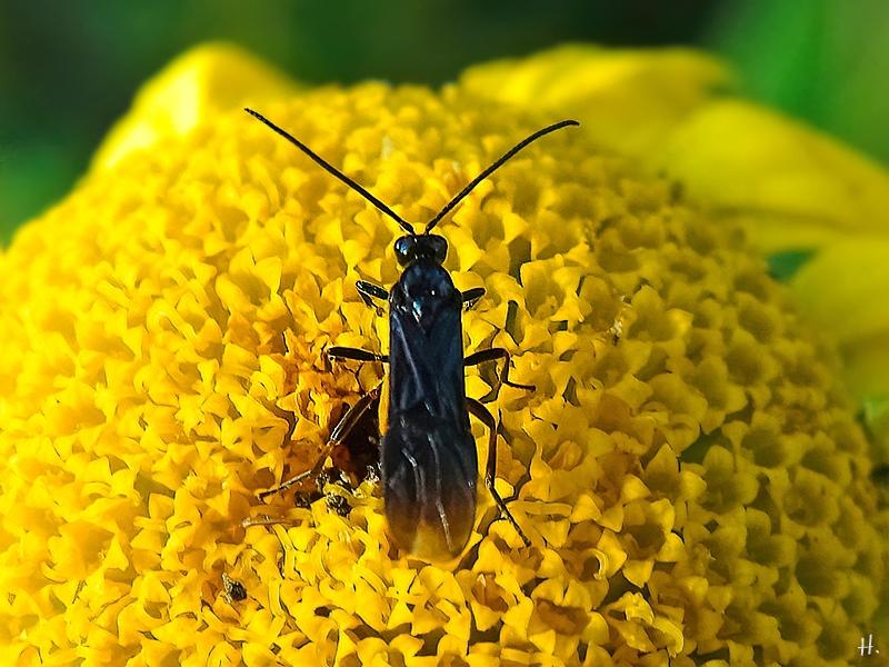 2021-07-02 LüchowSss Garten Färberkamille (Anthemis tinctoria) + verm. Bürstenhornblattwespe (Arge pagana) (1)