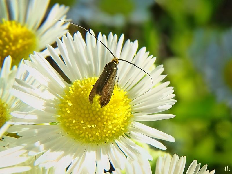 2021-07-02 LüchowSss Garten Feinstrahl (Erigeron annuus) + Witwenblumen-Langhornfalter (Nemophora metallica )bzw. Skabiosen-Langhornmotte