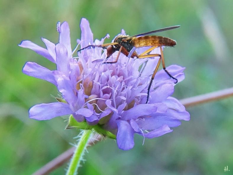 2021-07-02 LüchowSss Garten Helle Tanzfliege (Empis livida ) + Acker-Witwenblume (Knautia arvensis)