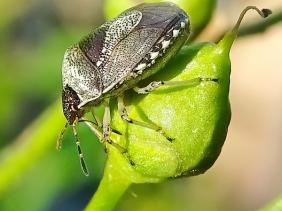 2021-07-02 LüchowSss Garten Schillerwanze (Stagonomus venustissimus, Syn. Eysarcoris venustissimus) auf Knoten-Braunwurz (Scrophularia nodosa) (1)
