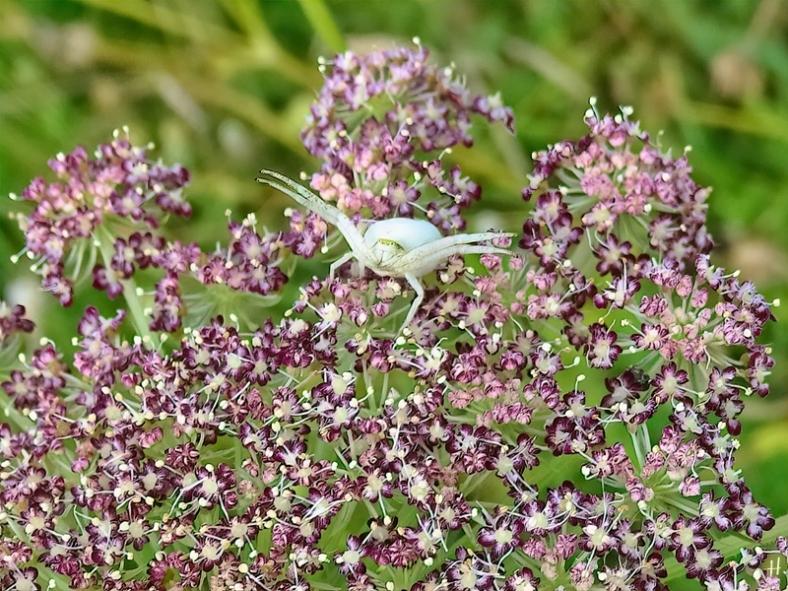 2021-07-02 LüchowSss Garten Veränderliche Krabbenspinne (Misumena vatia) + Wilde Möhre (Dauca carota ssp. carota) 'Dara'-Nachkömmling