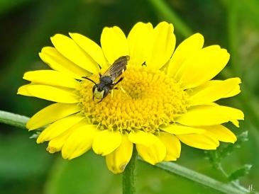 2021-07-03 LüchowSss Garten Färberkamille (Anthemis tinctoria) + Bienenjagende Knotenwespe (Cerceris rybyensis)