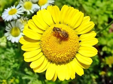 2021-07-03 LüchowSss Garten Färberkamille (Anthemis tinctoria) + Goldglänzende Furchenbiene (Halictus subauratus)