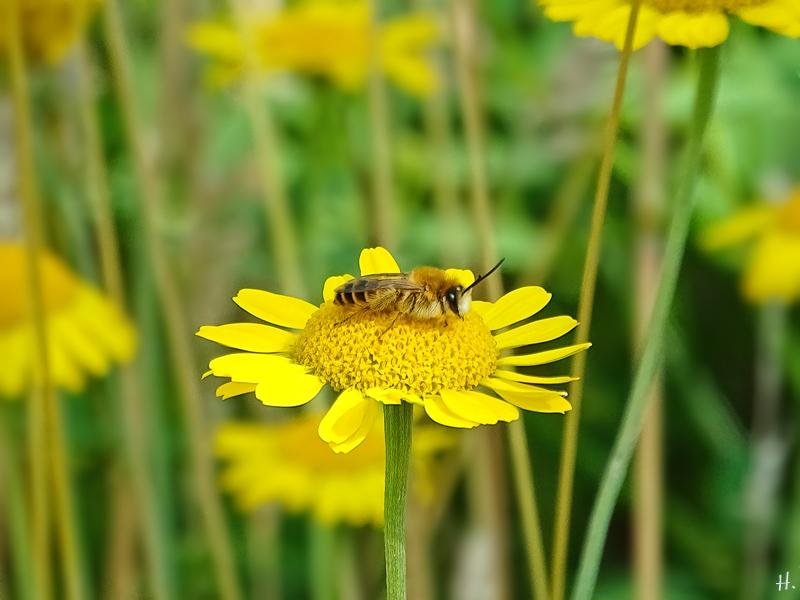 2021-07-03 LüchowSss Garten Färberkamillen (Anthemis tinctoria) + Seidenbiene (Colletes daviesanus) (1)