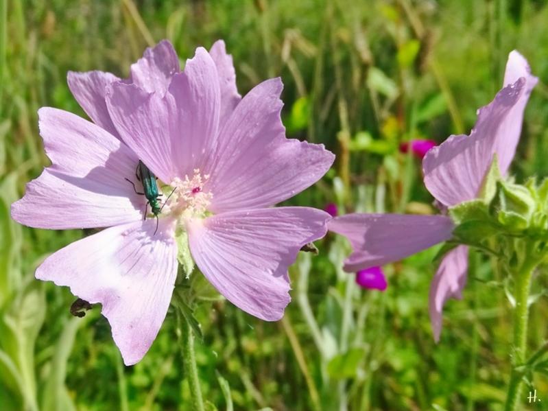 2021-07-03 LüchowSss Garten Moschusmalve (Malva moschata)+ Grüner Scheinbockkäfer (Oedemera nobilis)