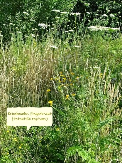 2021-07-03 LüchowSss Garten Wieseninsel + Kriechendes Fingerkraut (Potentilla reptans) + Färberkamillen + Wilde Möhre