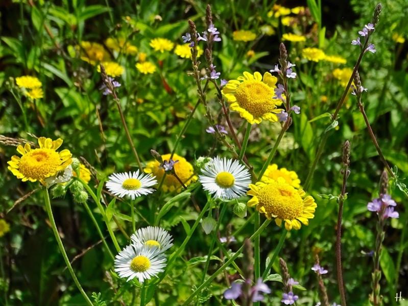 2021-07-04 LüchowSss Garten Feinstrahl (Erigeron annuus) + Färberkamille (Anthemis tinctoria) + Echtes Eisenkraut (Verbena officinalis) + (Crepis cappilaris)