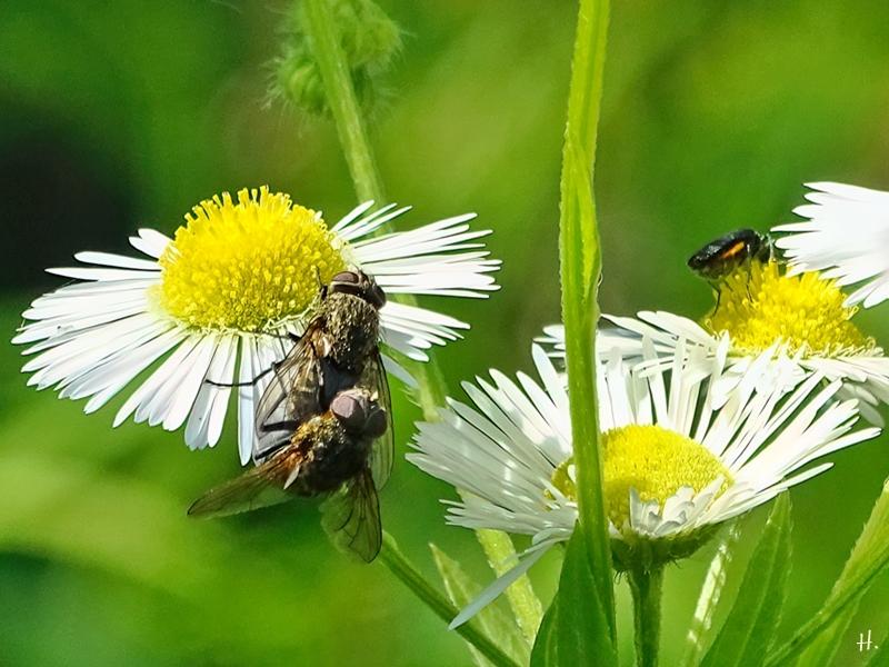 2021-07-04 LüchowSss Garten Feinstrahl (Erigeron annuus) + Fliegenpaar + weibl. Scheinbockkäfer (Oedemera)