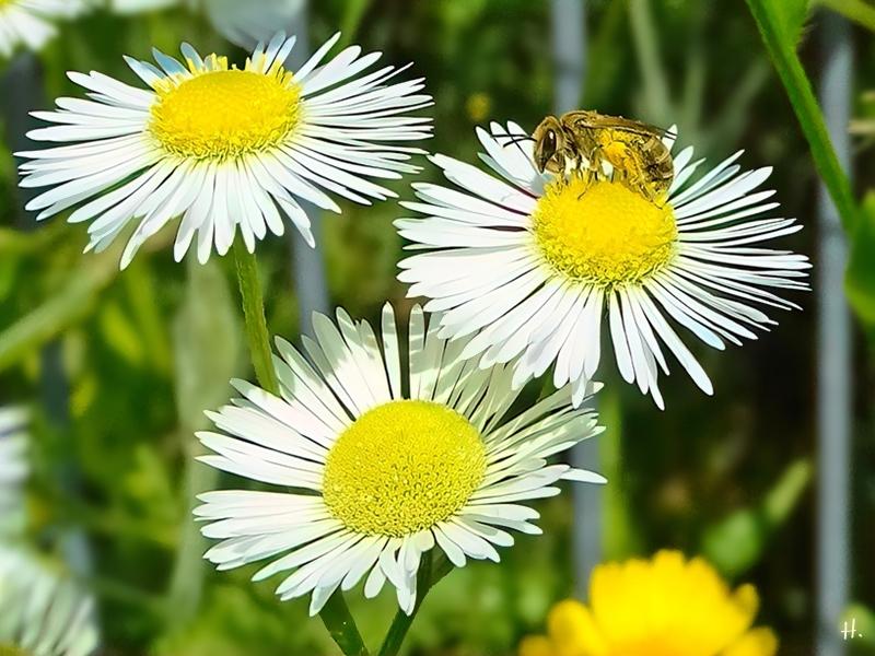 2021-07-04 LüchowSss Garten Feinstrahl (Erigeron annuus) + Goldglänzende Furchenbiene (Halictus subauratus) (1)