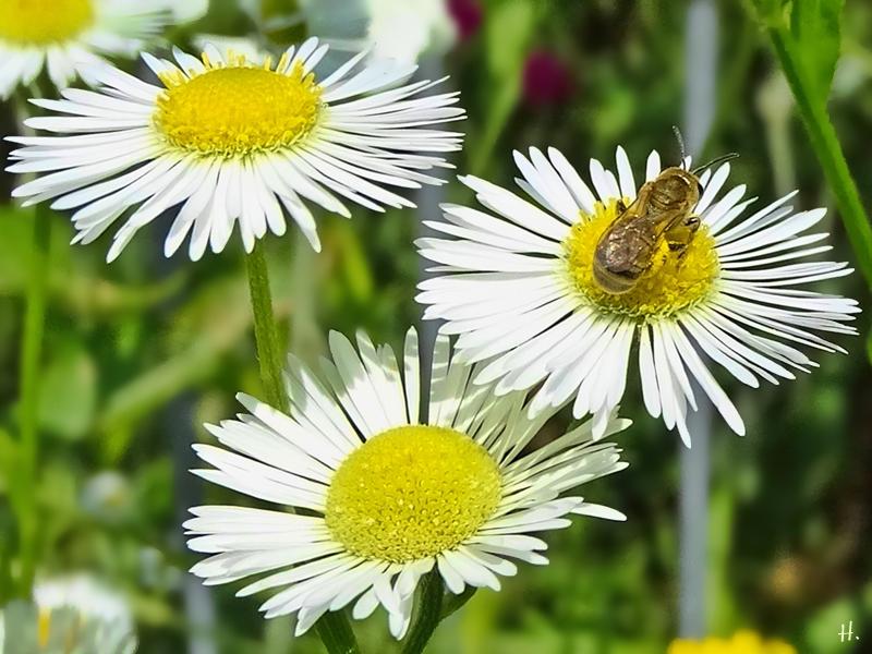 2021-07-04 LüchowSss Garten Feinstrahl (Erigeron annuus) + Goldglänzende Furchenbiene (Halictus subauratus) (2)