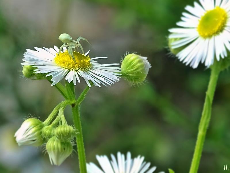 2021-07-04 LüchowSss Garten Feinstrahl (Erigeron annuus) + Veränderliche Krabbenspinne (Misumena vatia) (1)