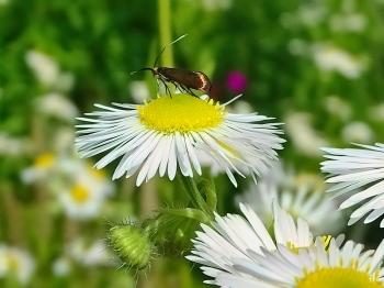 2021-07-04 LüchowSss Garten Feinstrahl (Erigeron annuus) + Witwenblumen-Langhornfalter (Nemophora metallica) bzw. Skabiosen-Langhornmotte (2)