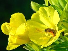 2021-07-04 LüchowSss Garten Gewöhnliche Nachtkerze (Oenothera biennis) + Cristatenbildung + kl. Wildbiene (3)