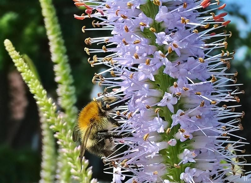 2021-07-04 LüchowSss Garten Kandelaber-Ehrenpreis (Veronicastrum virginiacum) + Ackerhummel (Bombus pascuorum)