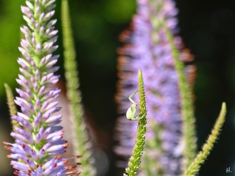2021-07-04 LüchowSss Garten Kandelaber-Ehrenpreis (Veronicastrum virginiacum) + Veränderliche Krabbenspinne (Misumena vatia) (1)