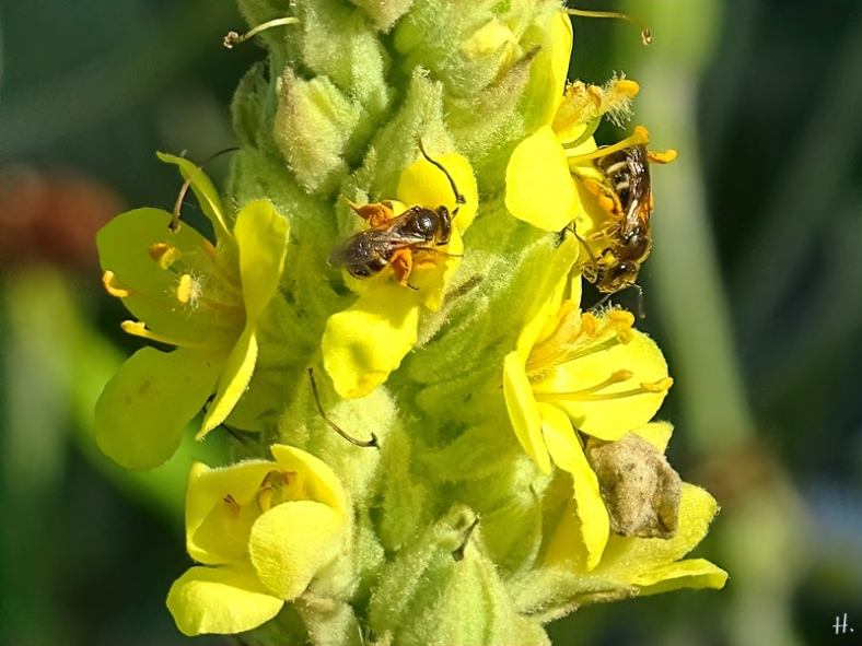 2021-07-04 LüchowSss Garten Kleinblütige Königskerze (Verbascum thapsus) + 2 Furchenbienen (Halictus spec.)