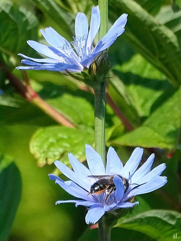 2021-07-04 LüchowSss Garten Wegwarte (Cichorium intybus) + Blattschneiderbiene (Megachile) (1)