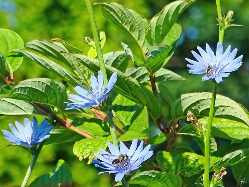 2021-07-04 LüchowSss Garten Wegwarte (Cichorium intybus) + Blattschneiderbiene (Megachile) + Mondfleck-Feldschwebfliege (Eupeodes luniger)