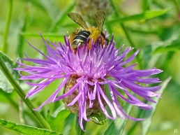2021-07-04 LüchowSss Garten Wiesen-Flockenblumen (Centaurea jacea) + Braunbürtige Hosenbiene (Dasypoda hirtipes) (1)