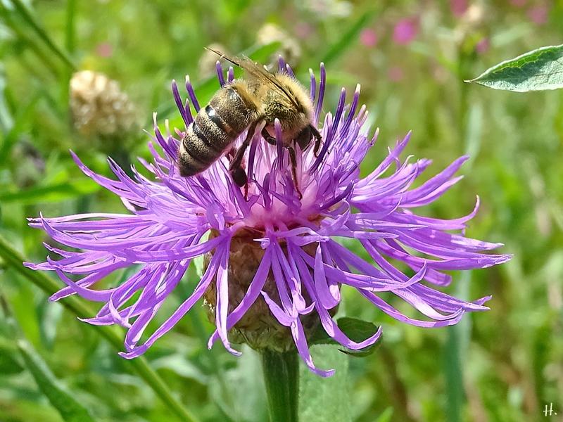 2021-07-04 LüchowSss Garten Wiesen-Flockenblumen (Centaurea jacea) + Honigbiene (Apis mellifera)