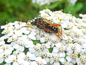 2021-07-05 LüchowSss Garten Braunrötlicher Spitzdeckenbock (Stenopterus rufus) Paarung auf Wiesen-Scharfgarbe (Achillea millefolium)