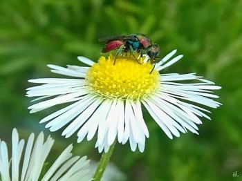 2021-07-06 LüchowSss Garten Feinstrahl (Erigeron annuus) + Bienenwolf-Goldwespe (Hedychrum rutilans)