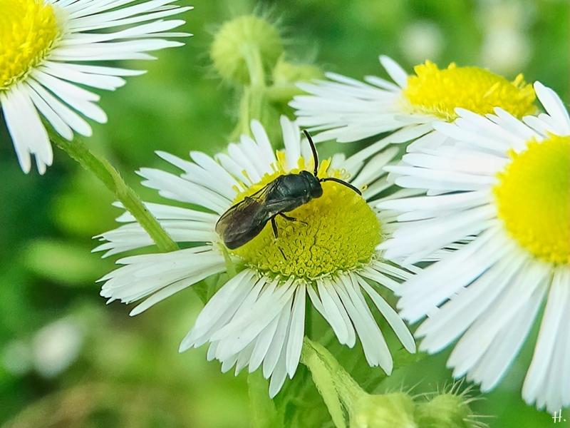 2021-07-06 LüchowSss Garten Feinstrahl (Erigeron annuus) +evtl. Gewöhnliche Keulhornbiene (Ceratina cyanea)