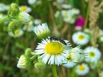 2021-07-06 LüchowSss Garten Feinstrahl (Erigeron annuus) + unsicher ob Wespe od. Wildbiene