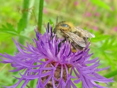 2021-07-06 LüchowSss Garten Wiesen-Flockenblume (Centaurea jacea) + Ackerhummel (Bombus pascuorum) (2)