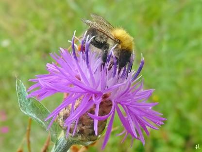 2021-07-06 LüchowSss Garten Wiesen-Flockenblume (Centaurea jacea) + Ackerhummel (Bombus pascuorum) (3)