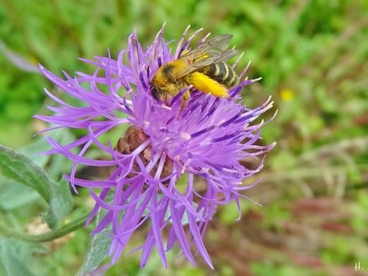2021-07-06 LüchowSss Garten Wiesen-Flockenblume (Centaurea jacea) + Braunbürstige Hosenbiene (Dasypoda hirtipes) (1)