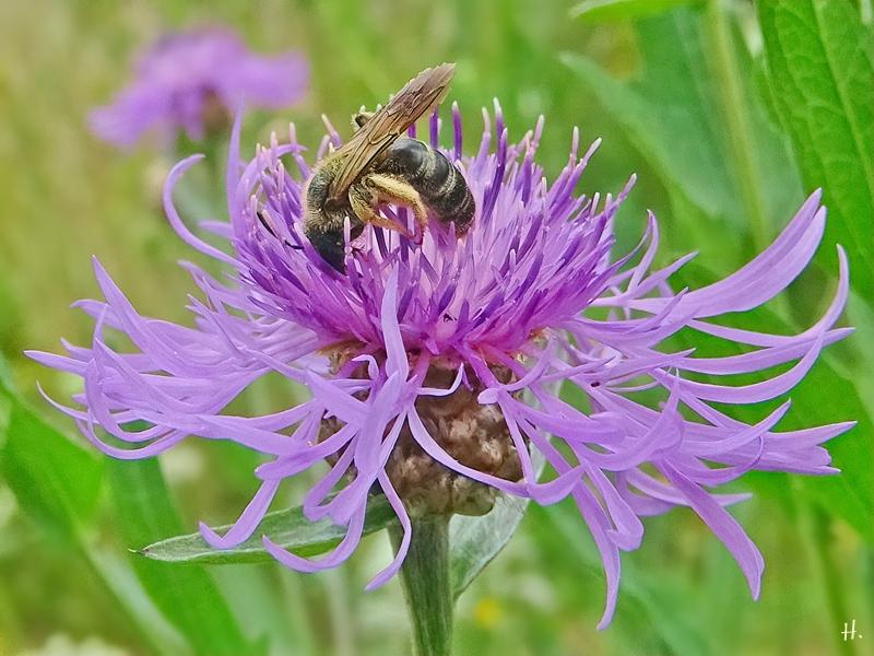 2021-07-06 LüchowSss Garten Wiesen-Flockenblume (Centaurea jacea) + Braunbürstige Hosenbiene (Dasypoda hirtipes) alt (2)