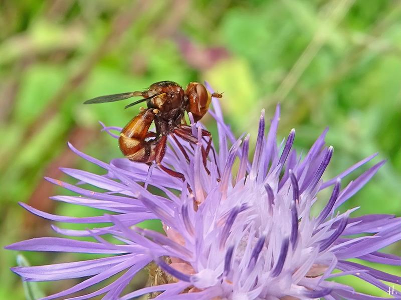 2021-07-06 LüchowSss Garten Wiesen-Flockenblume (Centaurea jacea) + Breitstirn-Blasenkopffliege (Sicus ferrugineus) (1)