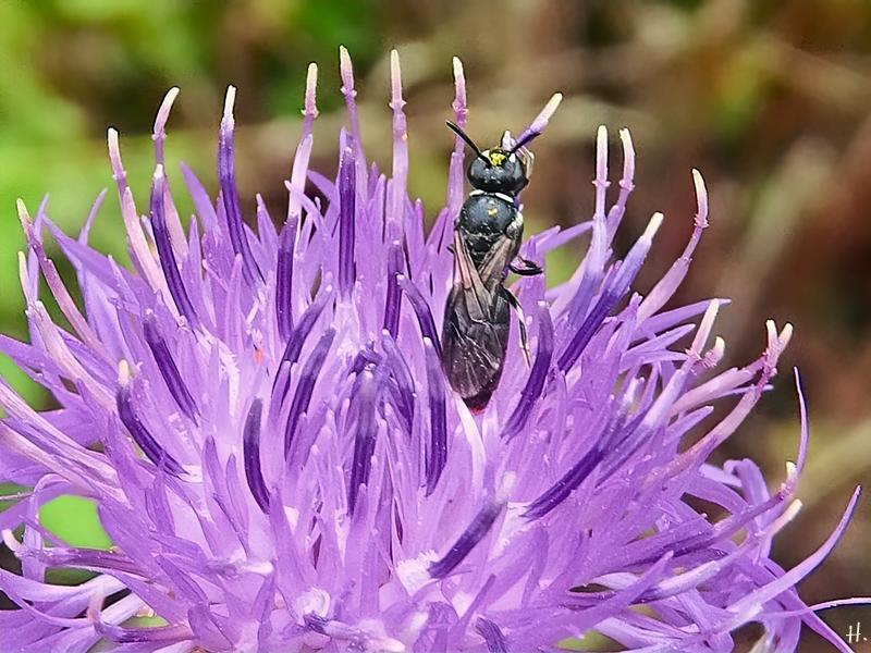 2021-07-06 LüchowSss Garten Wiesen-Flockenblume (Centaurea jacea) + Maskenbiene (Hyaleus) (1)