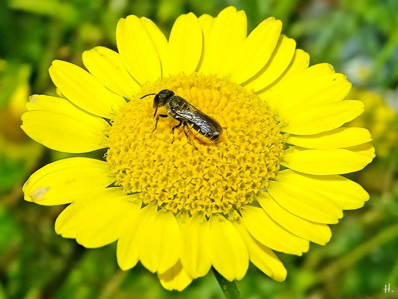 2021-07-07 LüchowSss Garten Färberkamille (Anthemis tinctoria) + Gemeine Löcherbiene (Heriades truncorum)