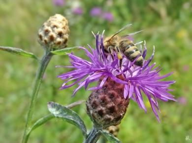 2021-07-07 LüchowSss Garten Wiesen-Flockenblume (Centaurea jacea) + Honigbiene (Apis mellifera)