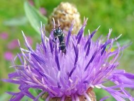 2021-07-07 LüchowSss Garten Wiesen-Flockenblume (Centaurea jacea) + Maskenbiene (Hyaleus) (1)