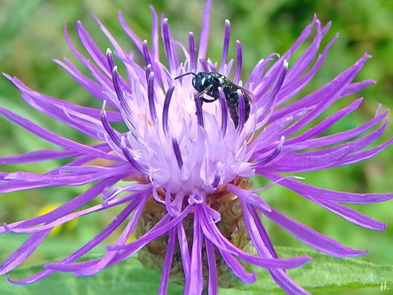 2021-07-07 LüchowSss Garten Wiesen-Flockenblume (Centaurea jacea) + Maskenbiene (Hyaleus) (2)