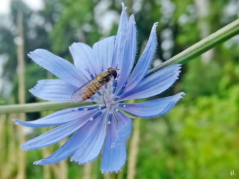 2021-07-08 LüchowSss Garten Wegwarte (Cichorium intybus) + Hain-Schwebfliege (Episyrphus balteatus) (1)