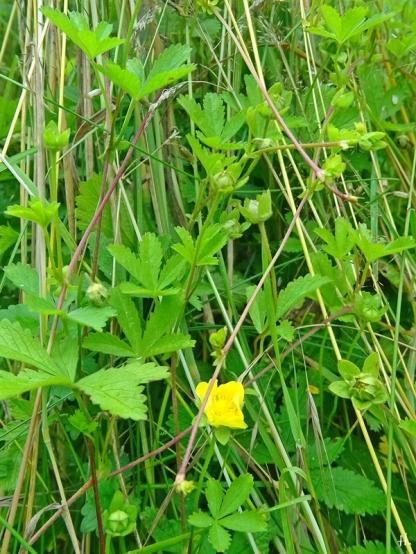 2021-07-09 LüchowSss Garten Kriechendes Fingerkraut (Potentilla reptans) (2)