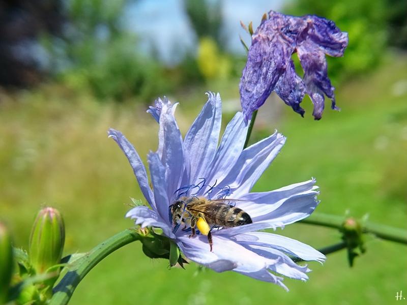 2021-07-10 LüchowSss Garten Wegwarte (Cichorium intybus) + Honigbiene (Apis mellifera)