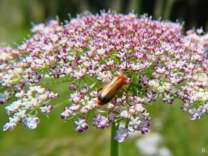 2021-07-10 LüchowSss Garten Wilde Möhre (Daucus carota ssp. carota) 'Dara'-Nachkömmling + Roter Weichkäfer (Rhagonycha fulva)