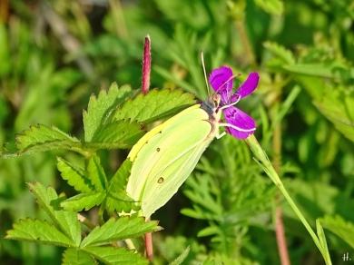 2021-07-11 LüchowSss Garten Heidenelken (Dianthus deltoides) + Zitronenfalter (Gonepteryx rhamni) (1)