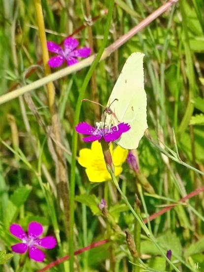 2021-07-11 LüchowSss Garten Heidenelken (Dianthus deltoides) + Zitronenfalter (Gonepteryx rhamni) (2)