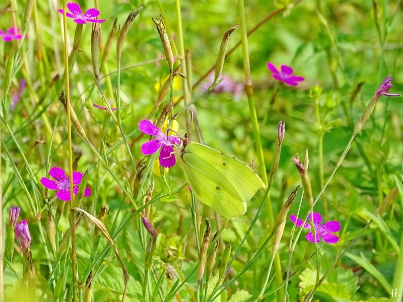 2021-07-11 LüchowSss Garten Heidenelken (Dianthus deltoides) + Zitronenfalter (Gonepteryx rhamni) (4)