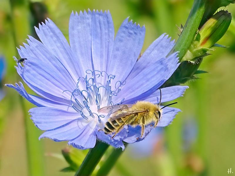 2021-07-11 LüchowSss Garten Wegwarte (Cichorium intybus) + Seidenbiene (Colletes) (1)