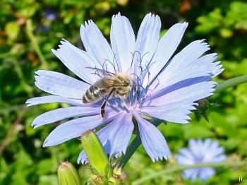 2021-07-11 LüchowSss Garten Wegwarte (Cichoriumintybus) + Honigbiene (Apis mellifera)