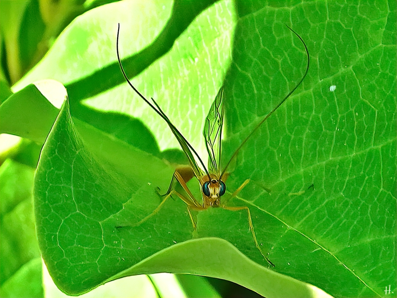 2021-07-18 LüchowSss Garten Sichelwespe (Ophion luteus) auf Magnolie, von vorn