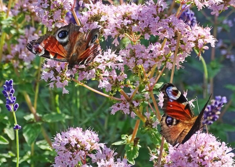 2021-07-18 LüchowSss Garten Tagpfauenaugen (Aglais io) + Wilder Dost bzw. Oregano (Origanum vulgare) + Lavendel (Lavendula angustifolia)